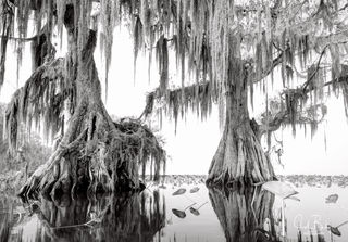 lake istokpoga, fog, cypress, swamp, florida, large format film photography