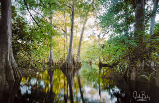 florida, loxahatchee river, cypress trees, large format, film