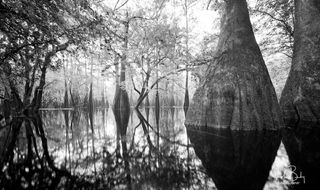 Florida, high springs district, ancient cypress, Suwannee, Santa Fe, large format film photography, wooden view camera, valley of the giants