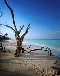 Cayo Costa State Park, tree skeleton, 8x10 film camera