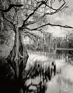 florida, fisheating creek, cypress trees, large format, film