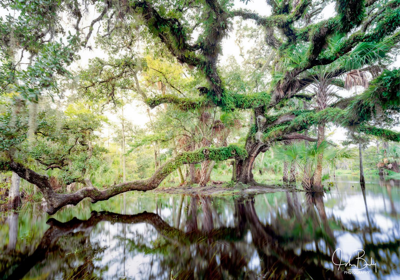 florida, fisheating creek, cypress trees, large format, film, photo